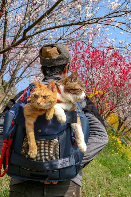 Cats aren't well-known for their fondness for international travel, but these kitties from Japan have become global jet-setters. Daisuke Nagasawa, 49, has spent the past few years taking his two faithful cats, Daikichi and Fuku-Chan, around the world with him. The CEO of a tech company, Daisuke has also taken the cats to all 47 prefectures across his native Japan, photographing his two furry friends in some of the country's most iconic landmarks. Here: Daisuke Nagasawa travels nationally and internationally with his beautiful kitties Fuku-Chan and Daikichi. (Photo by Daisuke Nagasawa/Caters News Agency)