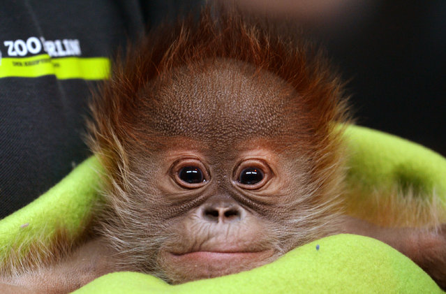 Newborn orangutan Rieke is presented during a press conference at Berlin Zoo, in Berlin, Germany, February 6, 2015. The baby was born on January 12, 2015 weighing 2,290 grams and is bottle-fed by keepers. (Photo by Ralf Hirschberger/EPA)