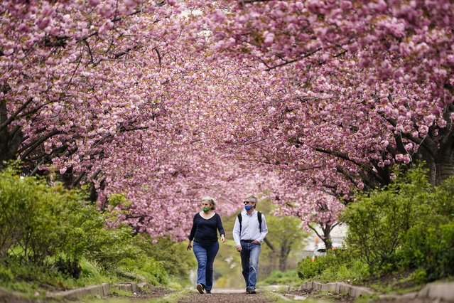 People wearing face masks as a precaution against COVID-19 walk beneath blossoming cherry trees along Columbus Boulevard in Philadelphia, Wednesday, April 14, 2021. (Photo by Matt Rourke/AP Photo)