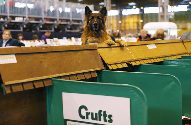 A dog from the Irish obedience team looks from its bench during the first day of the Crufts Dog Show in Birmingham, central England, March 5, 2015. (REUTERS/Darren Staples)