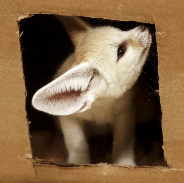 A fennec fox kit plays in a cardboard box in its enclosure Thursday, March 12, 2015, in the desert habitats exhibit at the Chattanooga Zoo in Chattanooga, Tenn. The kit is one of two 6-week-olds born to a single fennec fox mother at the zoo in January. (Photo by Doug Strickland/AP Photo/Chattanooga Times Free Press)