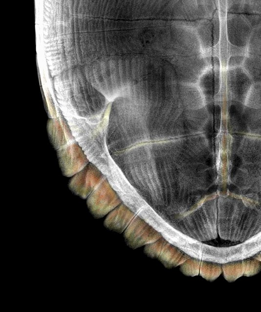 Turtle shell, coloured X-ray. (Photo by Paula Fontaine/Barcroft Media)