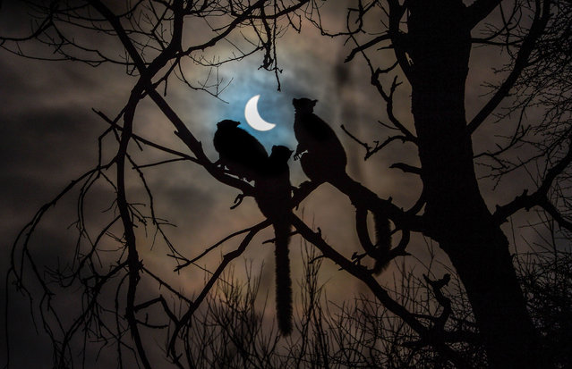 Handout photo dated March 20, 2015 issued by Chester Zoo of lemurs looking at the eclipse over Chester Zoo. (Photo by Steve Rawlins/PA Wire/Chester Zoo)