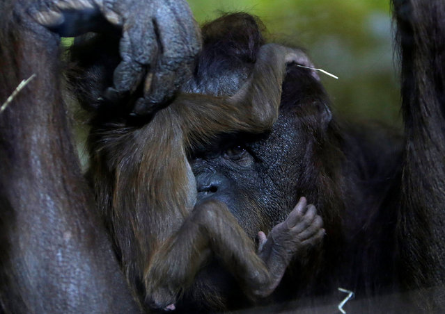 Nuninka, Bornean orangutan (Pongo pygmaeus), holds her newborn baby in the enclosure at Usti nad Labem Zoo, Usti nad Labem, Czech Republic January 3, 2017. (Photo by David W. Cerny/Reuters)
