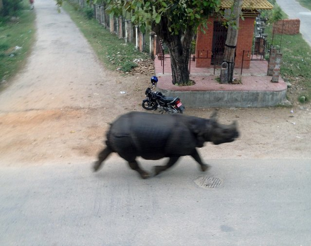 A runaway rhinoceros travels along a road in Hetauda, Makawanpur district some 40kms south-west of Kathmandu on March 30, 2015. A runaway rhinoceros escaped from a wildlife reserve and ran through a town in central Nepal, terrifying commuters as its rampage left one dead and six injured, police said. (Photo by Bidur Giri/AFP Photo)