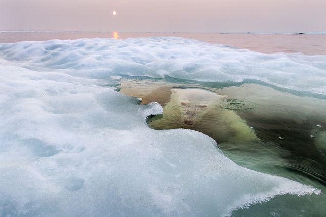"""Grand-Prize Winner and """"Nature"""" Winner. A polar bear peers up from beneath the melting sea ice on Hudson Bay as the setting midnight sun glows red from the smoke of distant fires during a record-breaking spell of hot weather. The Manitoba population of polar bears, the southernmost in the world, is particularly threatened by a warming climate and reduced sea ice. Photo location: Hudson Bay, Manitoba, Canada. (Photo and caption by Paul Souders/National Geographic Photo Contest)"""
