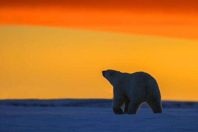 Polar Bear – walking in the sunset. (Photo by Sylvain Cordier/Caters News)