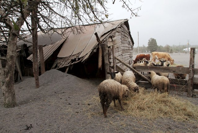 Sheep and cattle eat next to a collapsed shed and standing on ground covered with ash from Calbuco volcano in Ensenada, April 23, 2015. (Photo by Carlos Gutierrez/Reuters)