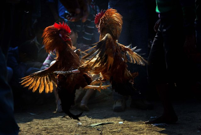 Roosters attack each other during a rooster fight as part of the Jonbeel festival near Jagiroad, India, on January 17, 2014. Tribal communities like Tiwa, Karbi, Khasi, and Jaintia from nearby hills participate in the festival that signifies harmony and brotherhood amongst various tribes and communities. (Photo by Anupam Nath/Associated Press)