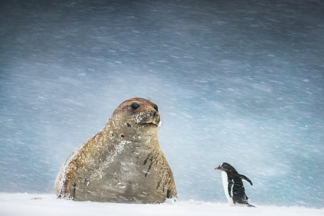 This photo of an elephant seal and Gentoo penguin shot by Andrew James in Yankee Harbour, Antarctica. (Photo by Andrew James/Travel Photographer of the Year)