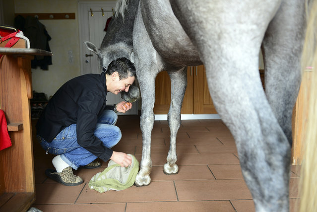 Nasar, an Arabian horse, gets his hoofes cleant in the house of doctor Stephanie Arndt on February 19, 2014 in Holt, Germany. (Photo by Patrick Lux/Getty Images)