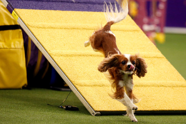 A Cavalier King Charles Spaniel competes in the  Masters Agility Championship Finals competition during the 141st Westminster Kennel Club Dog Show in New York City, U.S. February 11, 2017. (Photo by Brendan McDermid/Reuters)