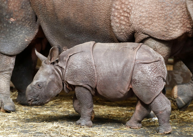 A newly born baby Indian rhino walks next its mother Manjula in its enclosure at the zoo in Plzen, Czech Republic, Friday, February 24, 2017. (Photo by Petr David Josek/AP Photo)