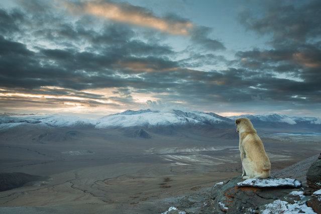"""Himalayan Dog"". This dog just appeared out of nowhere and followed us for an entire week during our trekking trip in the Himalayan outback. He always used to sleep in front of our tent and guarded us in the nights. When I decided to get up at 4 a.m. to climb the next 5000 m peak for sunrise he accompanied me as well. On the top he was sitting for the entire 30 minutes on this place looking straight into the countryside. Photo location: Ladakh, India. (Photo and caption by Sebastian Wahlhuetter/National Geographic Photo Contest)"