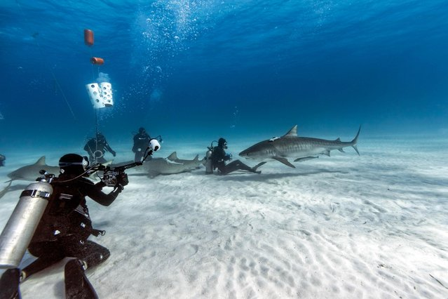 The divers required a steady nerve when one giant shark swam right up to them. (Photo by Steve Hinczynski/Mediadrumworld)