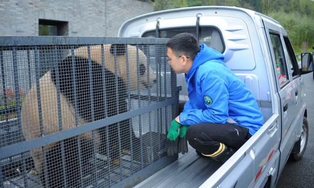 Giant panda Bao Bao is on her way to new home at the Dujiangyan base of the China Conservation and Research Center for Giant Pandas on March 24, 2017 in Chengdu, China. The female panda Bao Bao was born at the Smithsonian National Zoological Park in Washington D.C. in 2013, and she arrived in Chengdu on February 22 this year. (Photo by VCG/VCG via Getty Images)