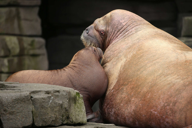 """Walrus baby """"Loki"""" cuddles with its mother Polosa in the Hagenbeck zoo, Hamburg, northern Germany on October 13, 2015. The animal, born on June 5 weighs 111 kg was baptized on Tuesday. (Photo by Christian Charisius/AFP Photo/DPA)"""