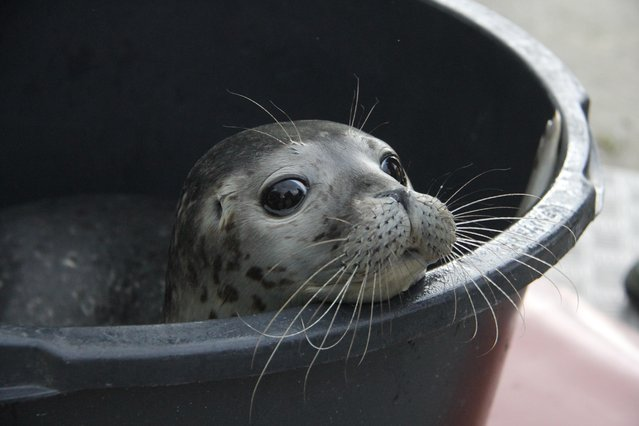 """The young seal """"Thies"""" waiting in the seal station for its re-introduction into the wild in Friedrichskoog, Germany, July 10, 2015. (Photo by Wolfgang Runge/EPA)"""