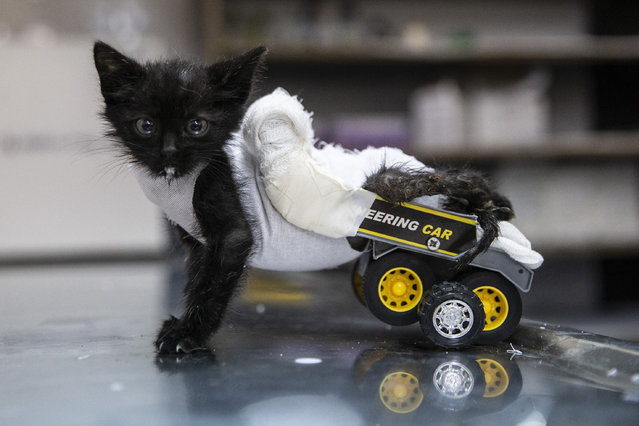 A disabled cat, which injured his hind legs and became disabled after a car accident is seen with his wheelchair made from toy truck, at an animal shelter in Edirne, Turkey on October 16, 2019. The cat found by university students in Edirne and started to move with the aim of the wheel chair made by shelter officials. (Photo by Gokhan Balci/Anadolu Agency via Getty Images)