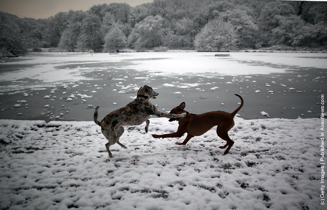 Two dogs play next to Queen's Mere pond in the snow on Wimbledon common on February