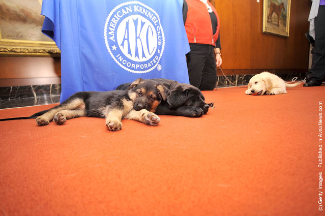 Ziva, a German Shepherd pup (L) and Brooklyn's Deli, a black Labrador Retriever pup take a rest as American Kennel Club announces Most Popular Dogs in the U.S. at American Kennel Club Offices