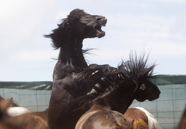 "Two horses fight during the ""Rapa das Bestas"" traditional event in the Spanish northwestern village of Sabucedo July 4, 2014. On the first weekend of the month of July, hundreds of wild horses are rounded up, trimmed and groomed in different villages in the Spanish northwestern region of Galicia. (Photo by Miguel Vidal/Reuters)"