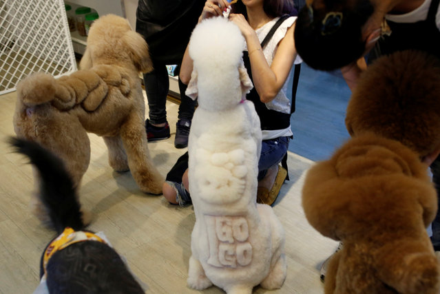 """A dog with """"Hello Kitty"""" cut into its fur (C) is seen at a pet shop, in Tainan, Taiwan June 19, 2016. (Photo by Tyrone Siu/Reuters)"""