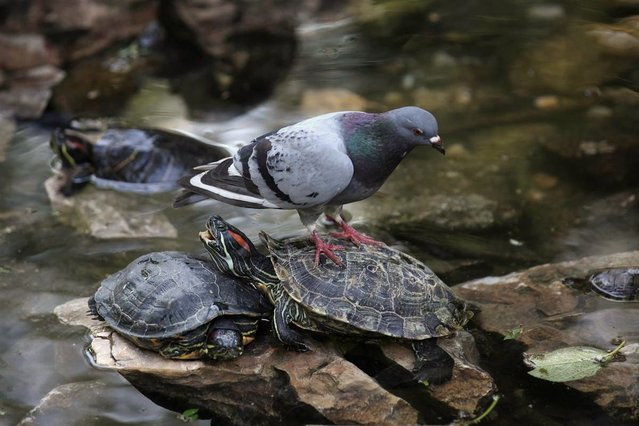 A pigeon stands on top of a tortoise