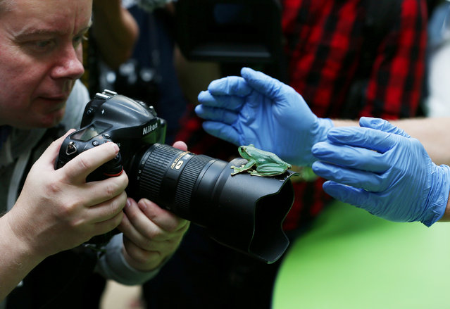 A fleas flying tree frog sits on a photographers lens during a photocall for the annual weigh-in at London Zoo in London, Britain August 24, 2017. (Photo by Neil Hall/Reuters)