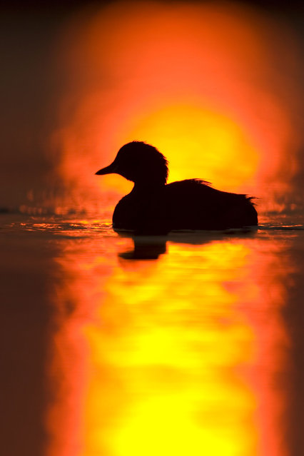 Little grebe, silhouette at sunrise in Cleveland, U.K. (Photo by Roy Glen/Caters News/Ardea)