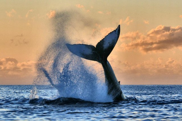 """""""Morning awakening"""". Humpback Whale showing off for me in Lahaina, Maui, Hawaii. Going out on an ultimate watch early in the morning, we were awakened by this young juvenile tail slapping. Photo location: Lahaina, Hawaii. (Photo and caption by Susan Metz/National Geographic Photo Contest)"""