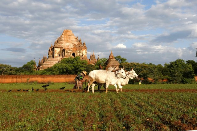 A Burmese farmer ploughs his field with his ox near Sulamani temple in Bagan, southwest of Mandalay, Myanmar, 25 August 2016. According to reports, a powerful 6.8 magnitude earthquake hit central Myanmar, two people died and several pagodas were damaged in the ancient city Bagan and some parts of central Myanmar. (Photo by Hein Htet/EPA)