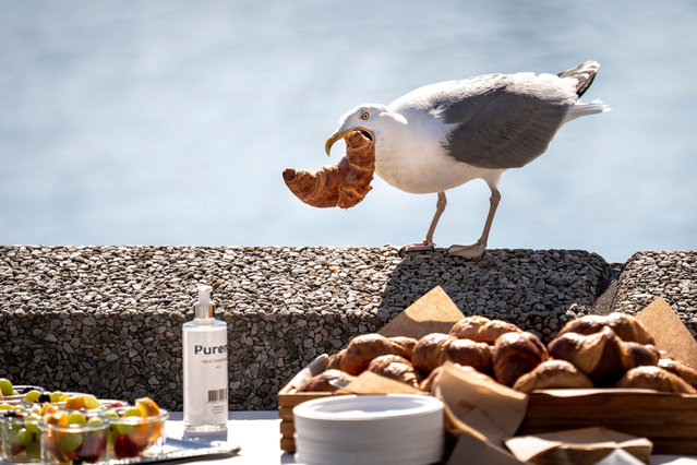A seagull snatches a croissant from the buffet during a press conference at the headquarters of A.P. Moeller – Maersk in Copenhagen, Denmark, on June 25, 2020. (Photo by Mads Claus Rasmussen/Ritzau Scanpix/AFP Photo)