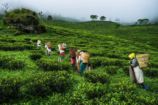 Workers carry baskets of hand-picked tea leaves at the Makaibari Tea Estate in Kurseong, West Bengal, India, on Monday, September 8, 2014. The 155-year-old Makaibari Tea Estate recently sold it's Darjeeling tea, named Silver Tips Imperial, for $1,850 a kilo to buyers from the U.K., the U.S. and Japan, becoming the most expensive Indian tea ever sold. (Photo by Sanjit Das/Bloomberg)