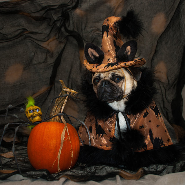 """Roxy, dressed as """"Witch Kitty"""" – in a costume inspired by Cajun and Creole culture in Sonoma County, California, 2014. (Photo by Phillip Lauer/Barcroft Media)"""