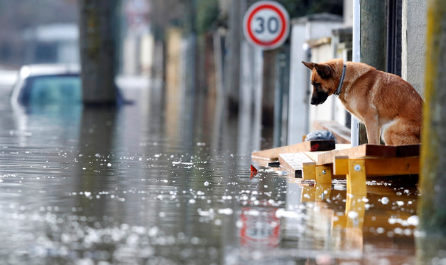 A dog is seen at the entrance of a house in the flooded residential area of Villeneuve-Saint-Georges, near Paris, France January 26, 2018. (Photo by Christian Hartmann/Reuters)