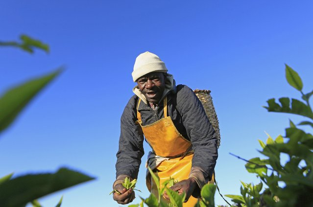 A man picks tea leaves at a plantation in Nandi Hills, in Kenya's highlands region west of capital Nairobi, November 5, 2014. (Photo by Noor Khamis/Reuters)