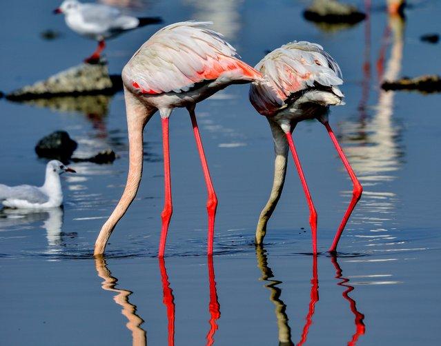 Immigrant flamingo birds look for food in the Arabian Gulf waters of Kuwait City, Kuwait, 20 November 2014. (Photo by Raed Qutena/EPA)