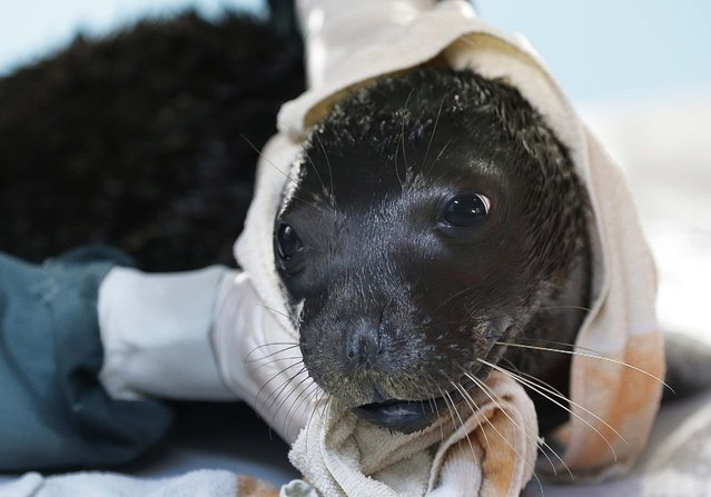 Andrianna a one-month old female Mediterranean monk seal is wrapped in a towel after a swim at the Attica  Zoological Park in Spata, Greece, December 10, 2014. (Photo by Thanassis Stavrakis/AP Photo)