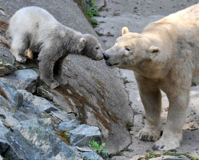A polar bear cub rubs noses with its mother named Cora at Brno Zoo on April 24, 2013 in Brno, Czech Republic. (Photo by AFP Photo)