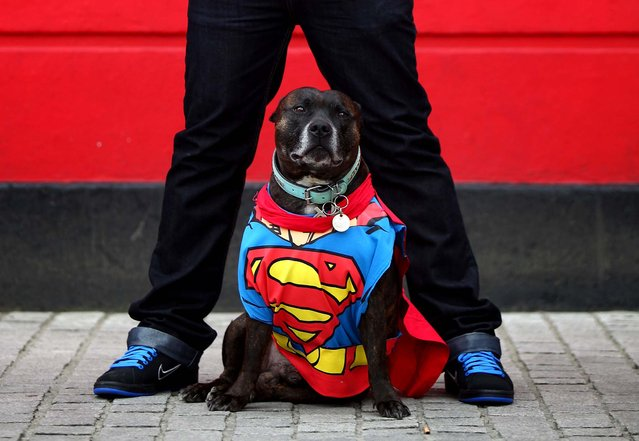 Ty, a Staffordshire Bull Terrier, is dressed as Superman by owner Anthony Farrante, on May 5, 2013. Enthusiasts gathered at the Picture House in Stratford, England, to parade their dogs dressed as famous Sci-Fi characters as part of a London-wide event called Sci-Fi London. (Photo by Jordan Mansfield/Getty Images)