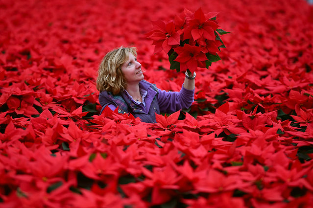 Carolyn Spray holds one of her many Poinsettia plants ready to be dispatched for the Christmas season at the Pentland Plants garden centre on November 23,2015 in Loanhead, Scotland. The garden center grows around 100,000 poinsettias, a traditional Christmas house plant.   The Midlothian business supplies a host of garden centres and supermarkets across Scotland and the north of England in time for Christmas. (Photo by Jeff J. Mitchell/Getty Images)