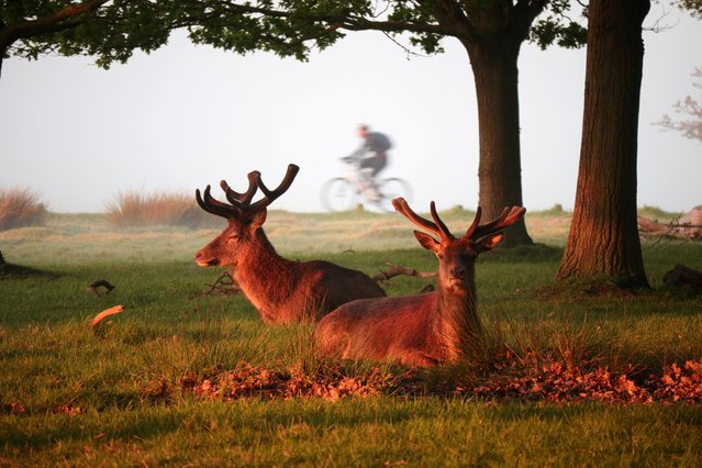 A cyclist on an early morning bike ride passes by deer in Richmond Park in London, Britain on May 7, 2020. (Photo by Yann Tessier/Reuters)