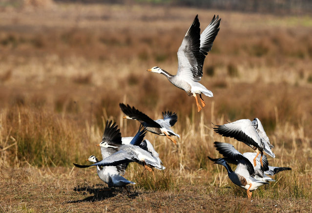A flock of spotted geese are seen at the Caohai National Nature Reserve in Weining Yi, Hui and Miao Autonomous County, Bijie, southwest China's Guizhou Province, February 1, 2021. Caohai was listed as a national nature reserve in 1992 and is an important wintering ground and migration transfer station for birds such as black-necked cranes, grey cranes and spotted geese. In recent years, Guizhou Province has vigorously promoted comprehensive measures and wetland restoration in Caohai National Nature Reserve, with more than 100,000 birds coming to overwinter every year. (Photo by Xinhua News Agency/Rex Features/Shutterstock)