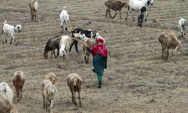 A nomad girl runs while grazing her family's goats and seeps on the outskirts of Peshawar January 22, 2015. (Photo by Fayaz Aziz/Reuters)