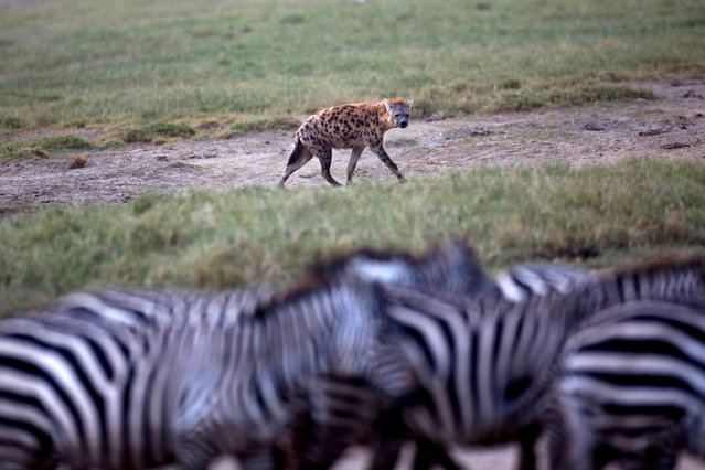 A hyena eyes a herd of zebra at Lake Nakuru National Park, Kenya, August 19, 2015. The Park is home to some of the world's most majestic wildlife including lions, rhinos, zebras and flamingos. The scenery is stunning, from forests of acacia trees to animals congregating at the shores to drink. (Photo by Joe Penney/Reuters)