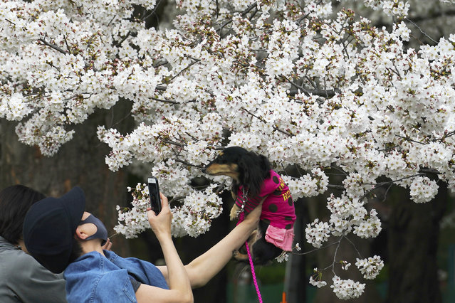 A woman wearing a protective mask to help curb the spread of the coronavirus carries a pet dog to take a photo under cherry blossoms Friday, March 26, 2021, in Tokyo. (Photo by Eugene Hoshiko/AP Photo)