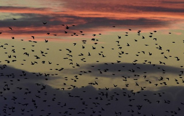 Large flocks of starlings fly at dusk over the Somerset Levels near Glastonbury in Britain, January 8, 2016. Despite a steady decline in annual winter visiting numbers of the migratory bird in recent years, the Royal Society for the Protection of Birds estimates that approximately half a million are currently roosting in this area of south west England, providing spectacular daily murmurations as they arrive and leave their roosting spots. (Photo by Toby Melville/Reuters)