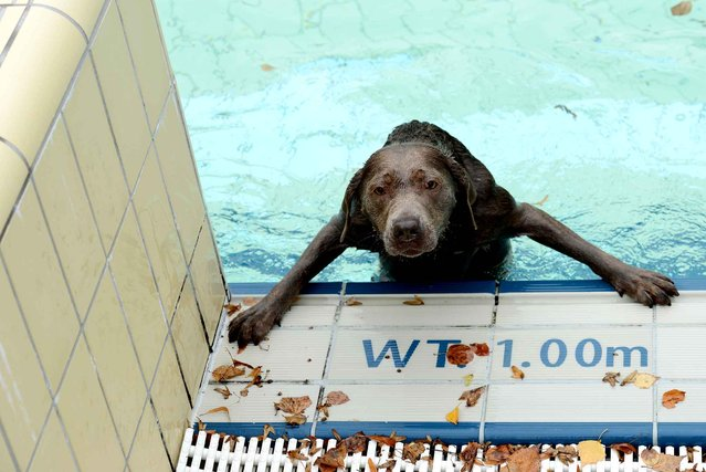 A dog looks out of a public swimming pool in Bamberg, southern Germany on September 21, 2013. The public swimmingpool opened exclusively for animals for a day. (Photo by David Ebner/AFP Photo/DPA)