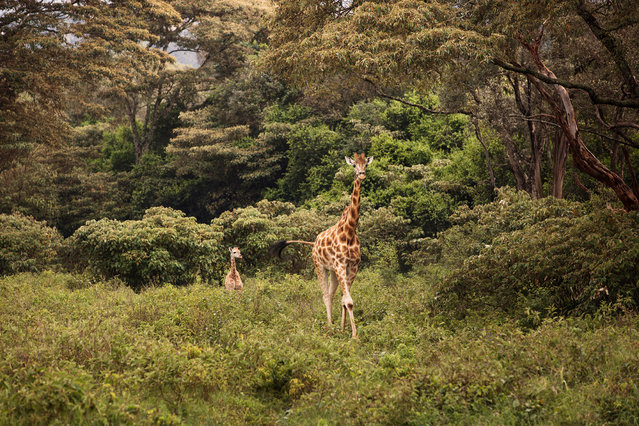 Situated 10km outside Nairobi city centre, this private giraffe sanctuary is centred around a colonial manor house named Giraffe Manor. Living within the grounds is a herd of rare Rothschild giraffe. (Photo by Klaus Thymann)
